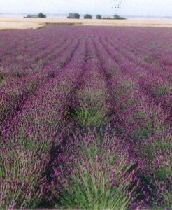 PurplePrairieCloverSeedProductionFieldsmall